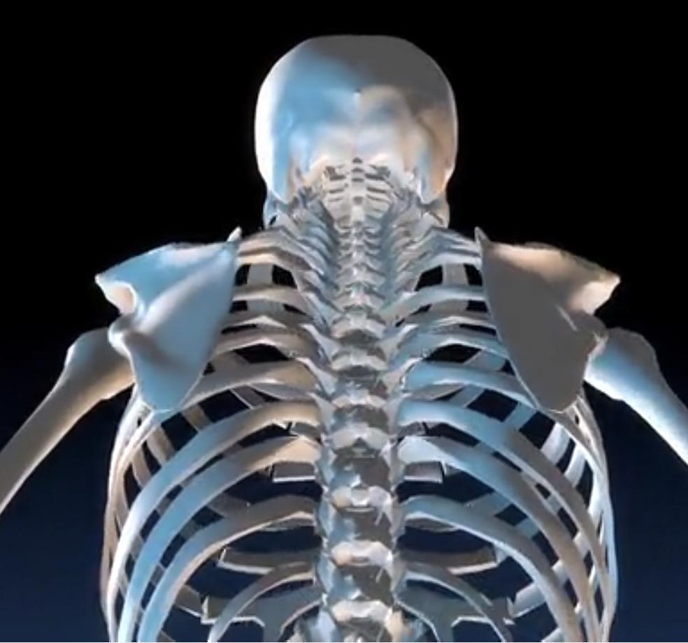 squelette vue de dos